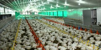 Cross River ramps up chicken processing at 24000 birds per day factory as ultramodern poultry begins evacuation of birds.